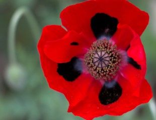 Annual ladybird Poppy