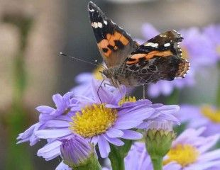 butterfly-on-Aster 310