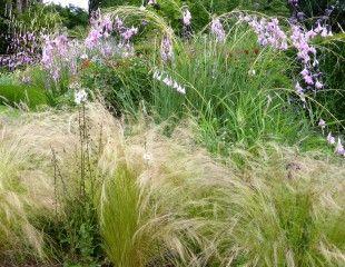 Grass tenuissma and Diarama