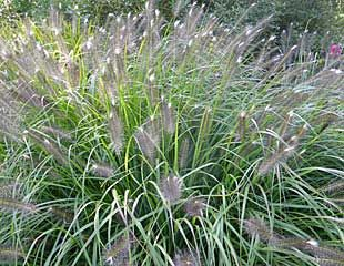 Ornamental grass Pennisetum alopecuroides