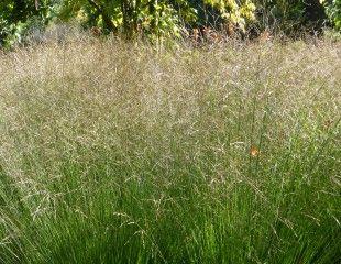 Grasses-deschampsia-and-crocosmia