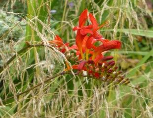 Crocosmia Lucifer with grasses