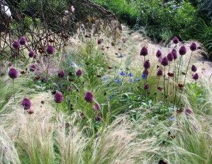 Stipa tenuissima, Allium,  Nigella and Cosmos
