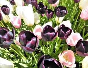 contrasting tulip colour combinations
