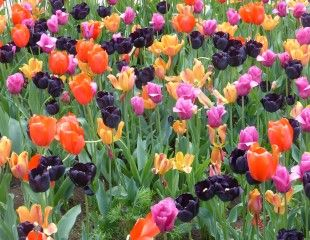 mixed colours tulips in group