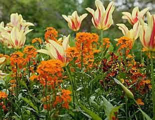 Tulips with Wallflowers