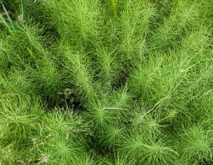 Weed Horsetails on mass