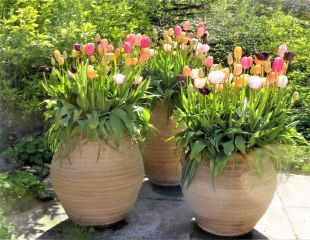 tulips in large containers