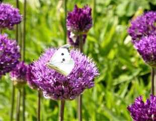 Cabbage white butterfly on Allium