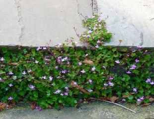 Ivy leaved toad flax on steps