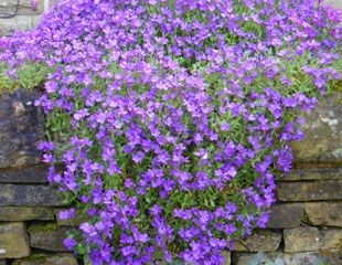 Aubrieta trailing down a wall