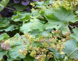 Alchemilla mollis looking brown and tatty