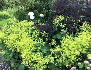 Alchemilla in full flower