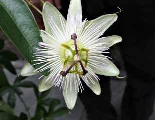 passionflora caerulea 'Constance Elliot'