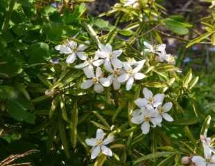 Choisya ternata has more narrow leaves