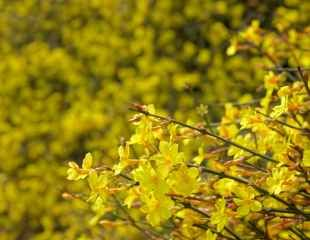 winter flowering Jasmine flowers and shrub