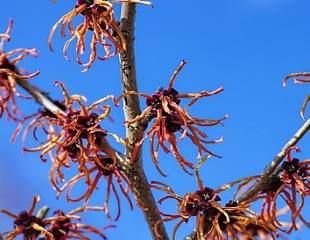 Witch Hazel Hamamelis red flowering