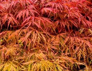 Acer firey colour in autumn