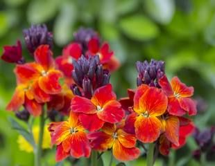 The brightly colored spring flowers of Erysimum cheiri Cheiranthus also known as the Wallflower