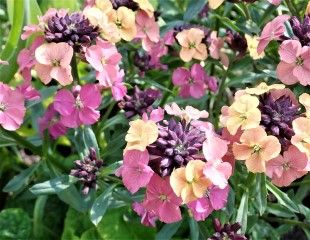 Subtle shades of Wallflowers