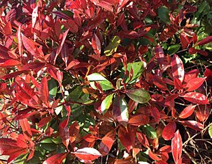 Photinia-'red-robin'