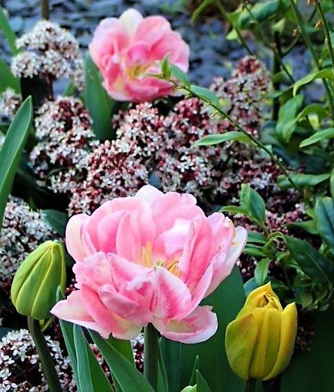 Tulip and Skimmia