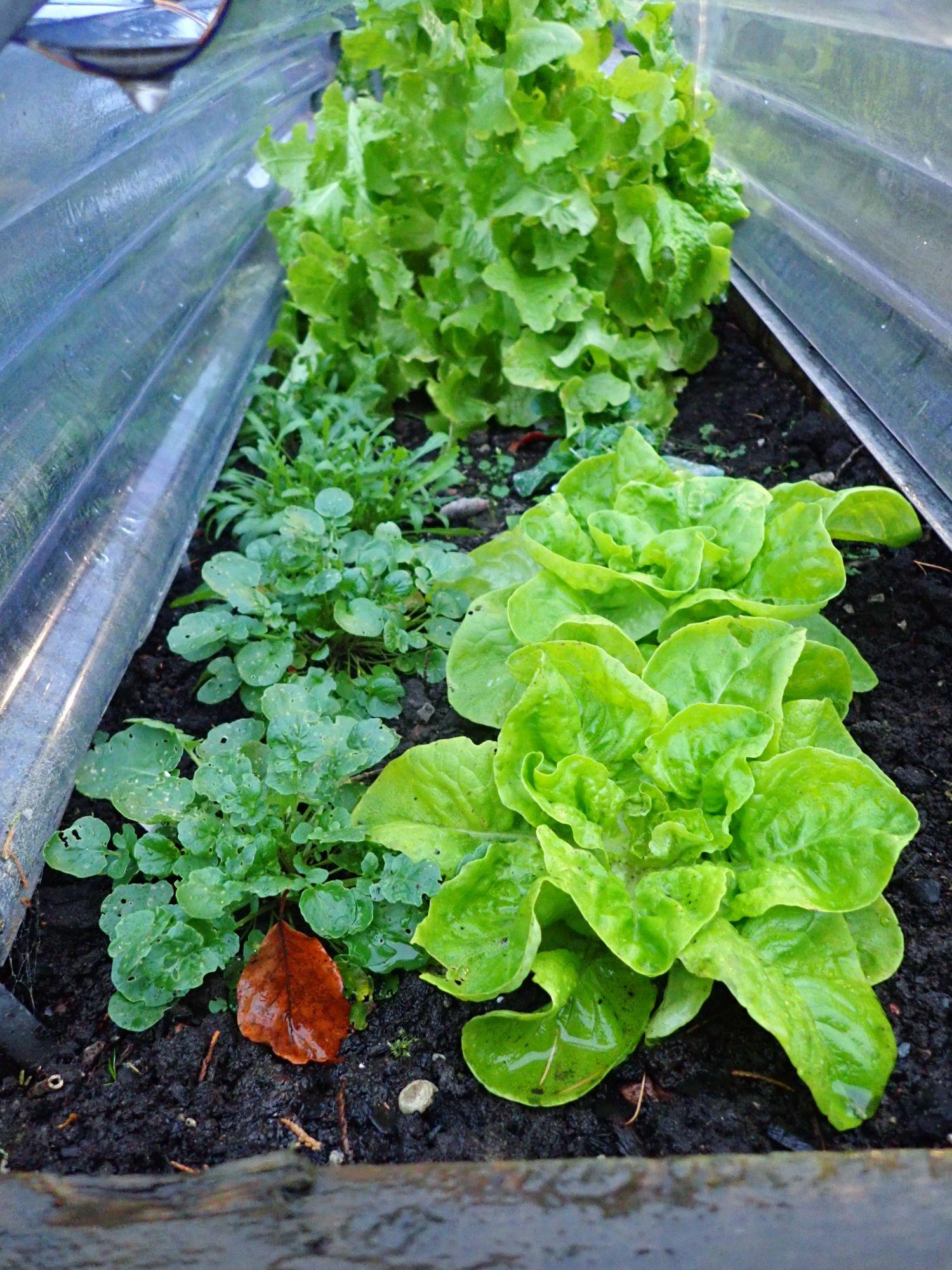 Winter lettuce under cloche