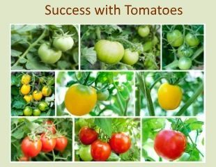 sucess with tomatoes