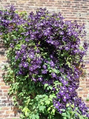 Clematis Jackmanii growing up a wall