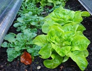 winter lettuce