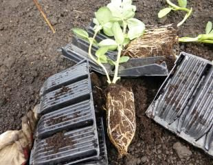 broad bean in root trainer