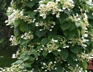 creamy w hite climbing hydrangea in flower
