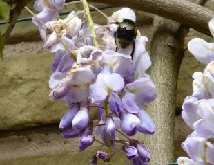 bee on wisteria bloom
