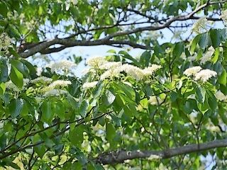 Cornus  Cornus controversa  The Wedding Cake tree