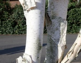 Bark on white birch tree