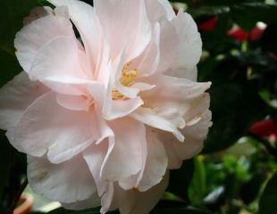 Camellia 'Easter Morn