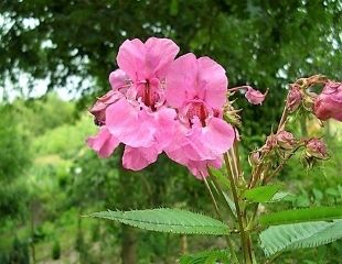 Weed Himalayan balsam