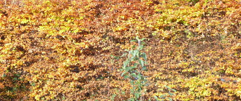 autumn beech hedge