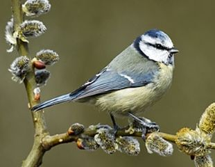 Blue-tit-in-spring-310