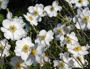 Anemone Honorine Jobert  a lovely white form of  Japanese Anemone