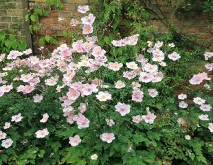 Clump of pale pink Japanese anemones