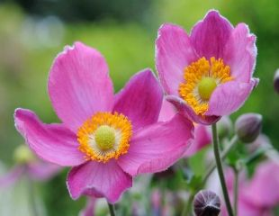 Lovely bright pink Japenese anenome hupehensis Pamina