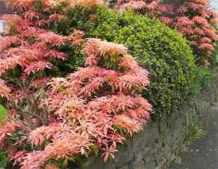 Red Pieris shrubs in spring