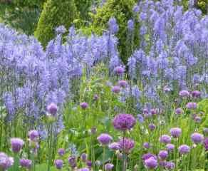 Alliums planted en masse