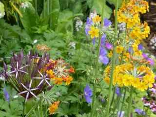 Allium schubertii, with candelabra primular and blue geranium 310