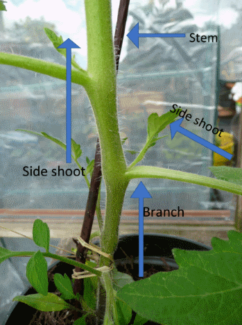 image of side shoots on tomatoes and how to pinch them out