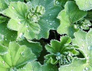 Alchemilla mollis leaves with water