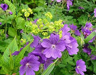 easy to grow combination of Geranium andachilles mollis