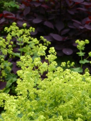 Dark red Cotinus with brigth green Alchemilla mollis