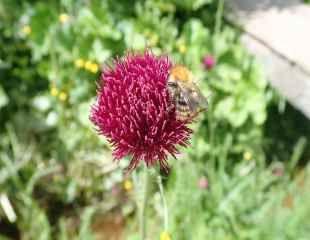 Cirsium rivulare 'Atropurpureum very attractive to bees